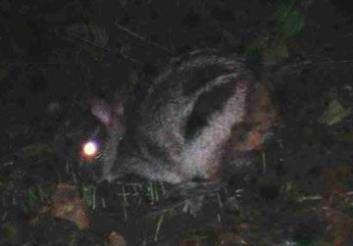 На Суматре сфотографировали самого редкого полосатого кролика
