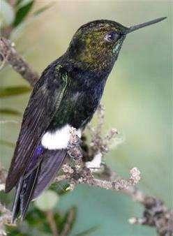 Неизвестные колибри обнаружены в Колумбии