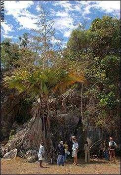 На Мадагаскаре обнаружена необычная пальма