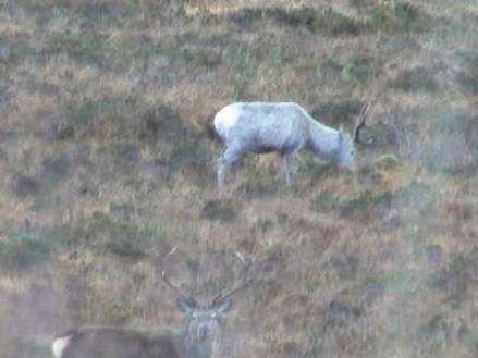 В Шотландии замечен редкий белый олень