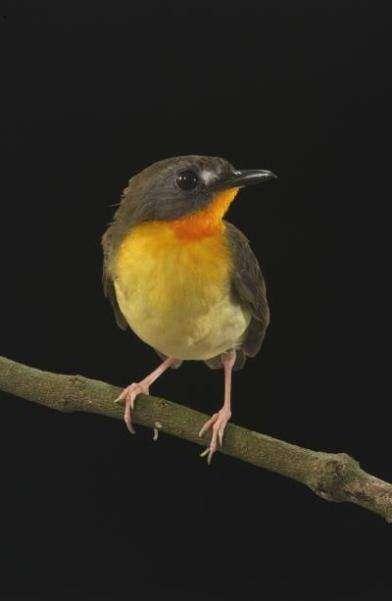 Stiphrornis pyrrholaemus