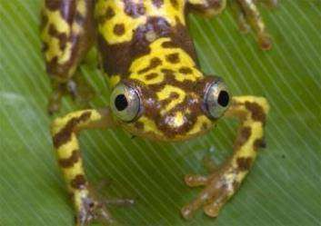Afrixalus vebekensis
