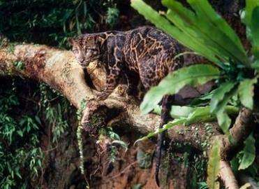 Леопард из Борнео
