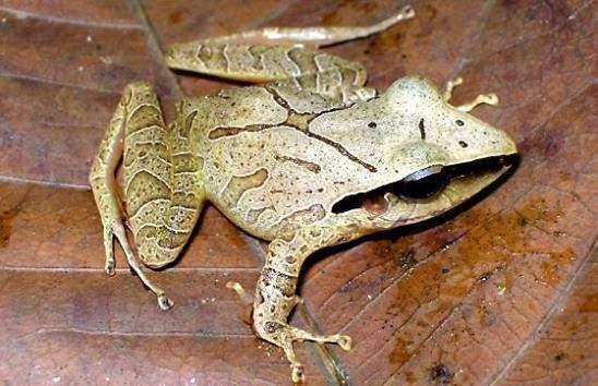 Eleutherodactylus chiastonotus