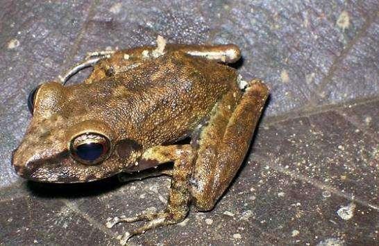 Eleutherodactylus