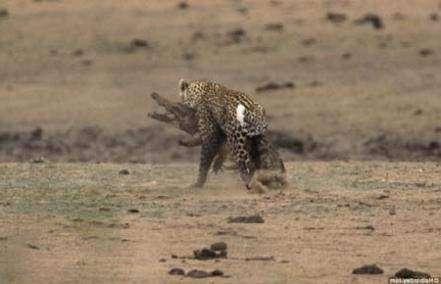 Леопард напал на крокодила
