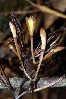 Новый вид орхидеи Lecanorchis Vietnamica